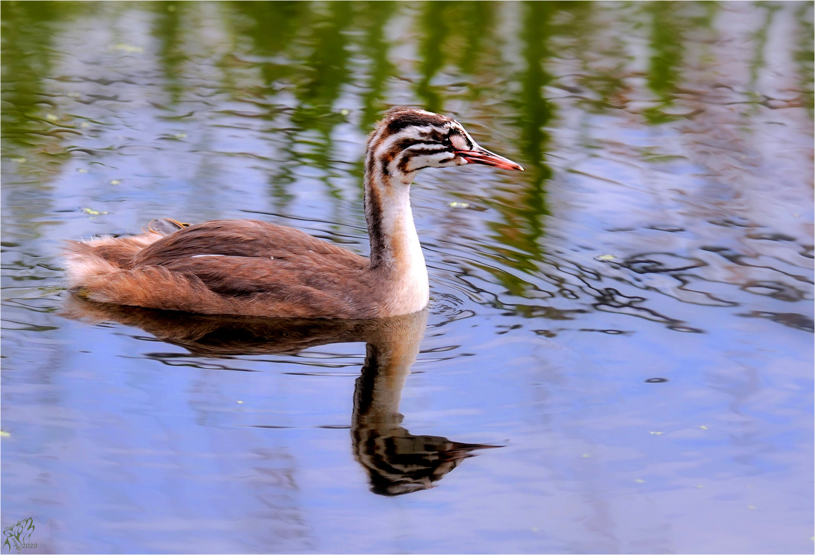 Young grebe ..