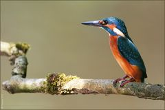 [  young Kingfisher  ]