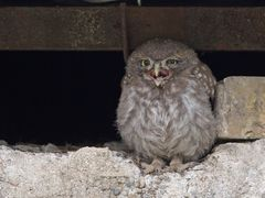 Young little owl