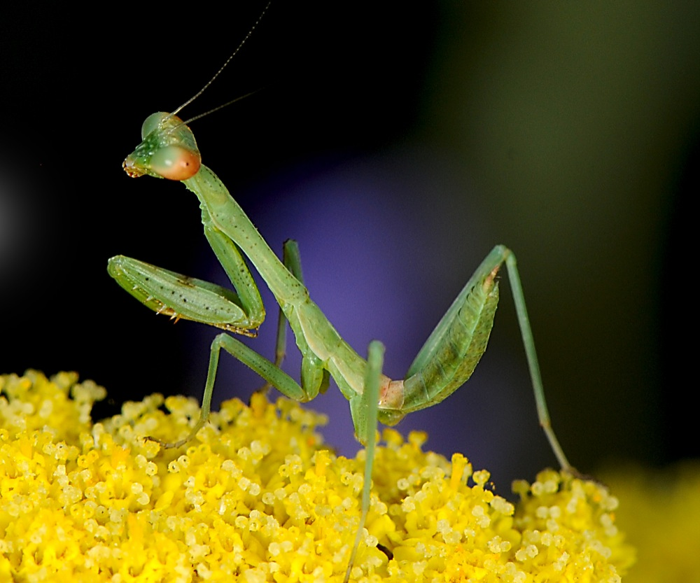 Young Mantis on Yarrow Flower