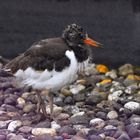 Young oystercatcher (2) ..