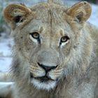 Young Panthera Leo