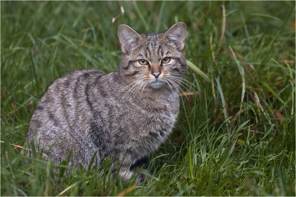 YOUNG WILD-CAT