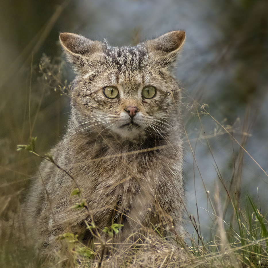 YOUNG WILD CAT LOOKS OUT FOR MICE ...