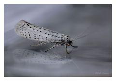 Yponomeuta evonymella (Gespinstmotte)