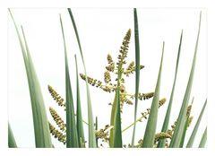 Yucca-Blüte