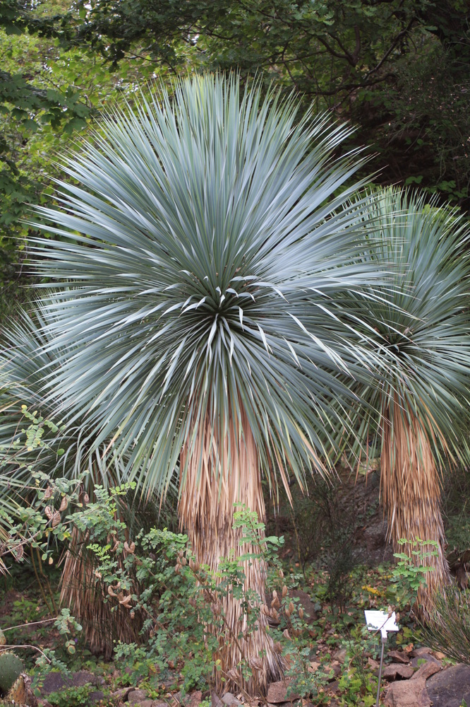 yucca palme foto bild pflanzen pilze flechten b ume palmen bilder auf fotocommunity. Black Bedroom Furniture Sets. Home Design Ideas