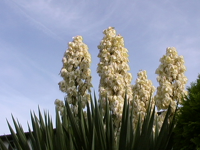 yucca palme foto bild pflanzen pilze flechten. Black Bedroom Furniture Sets. Home Design Ideas