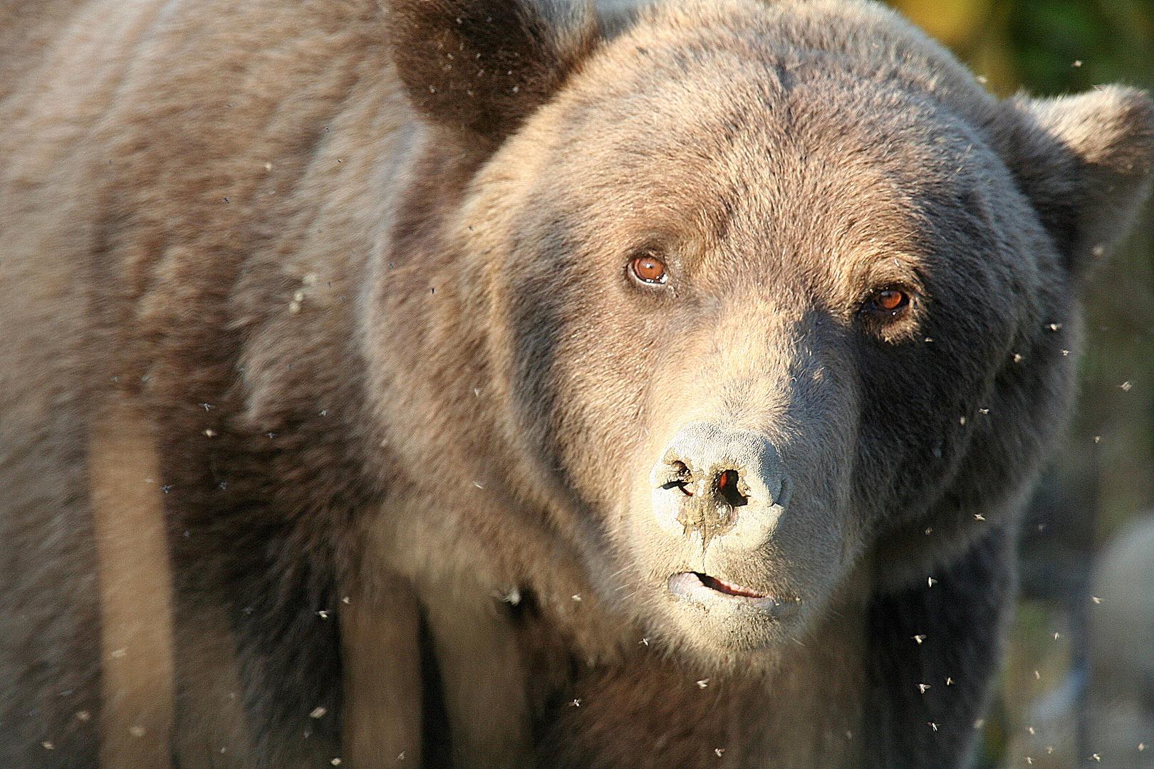 Yukon-Grizz