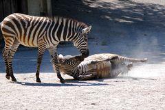 zärtliche Begegnung - Frühlingsgefühle bei den Zebras