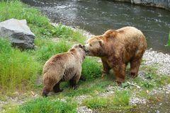 zärtliche Begrüßung zwischen Bären