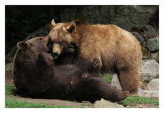 Zärtlichkeiten unter Braunbären