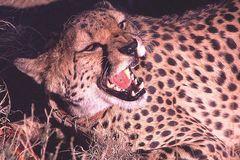 zahmer Gepard - - oder doch nicht?