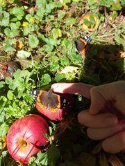 Zahmer Schmetterling.