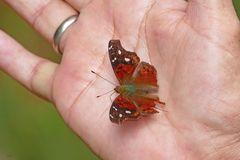 Zahmer Schmetterling