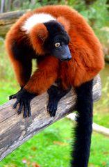 Zahmes Lemurenweibchen