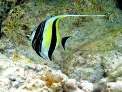 Zanclus cornutus - Kanifinolhu, Nordmale Atoll, Malediven