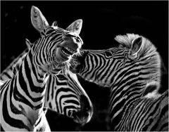 """""""...zankende Zebras..."""""""