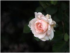 zart rosa...