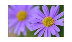 zart und violett [2]