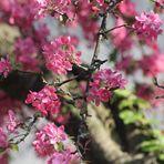 zarte Blüten auf  alten Zweigen