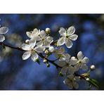 Zarte Blütenpracht