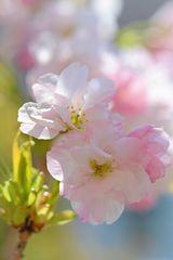 zarte Blütenträume...