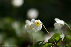 Zarte Frühlingsblüte