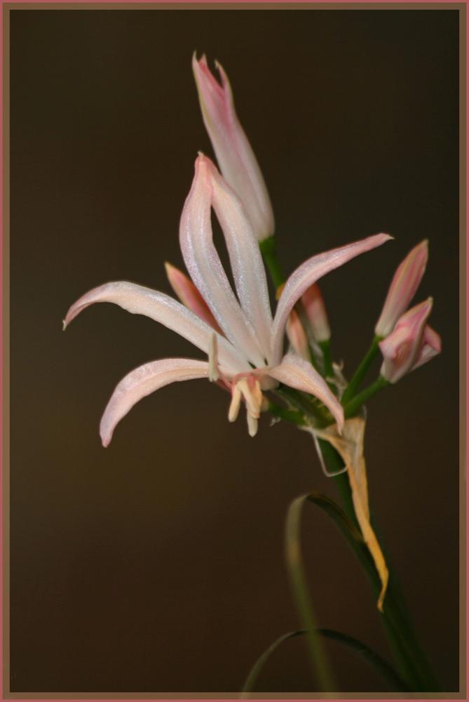 Zarte Schönheit in rosa