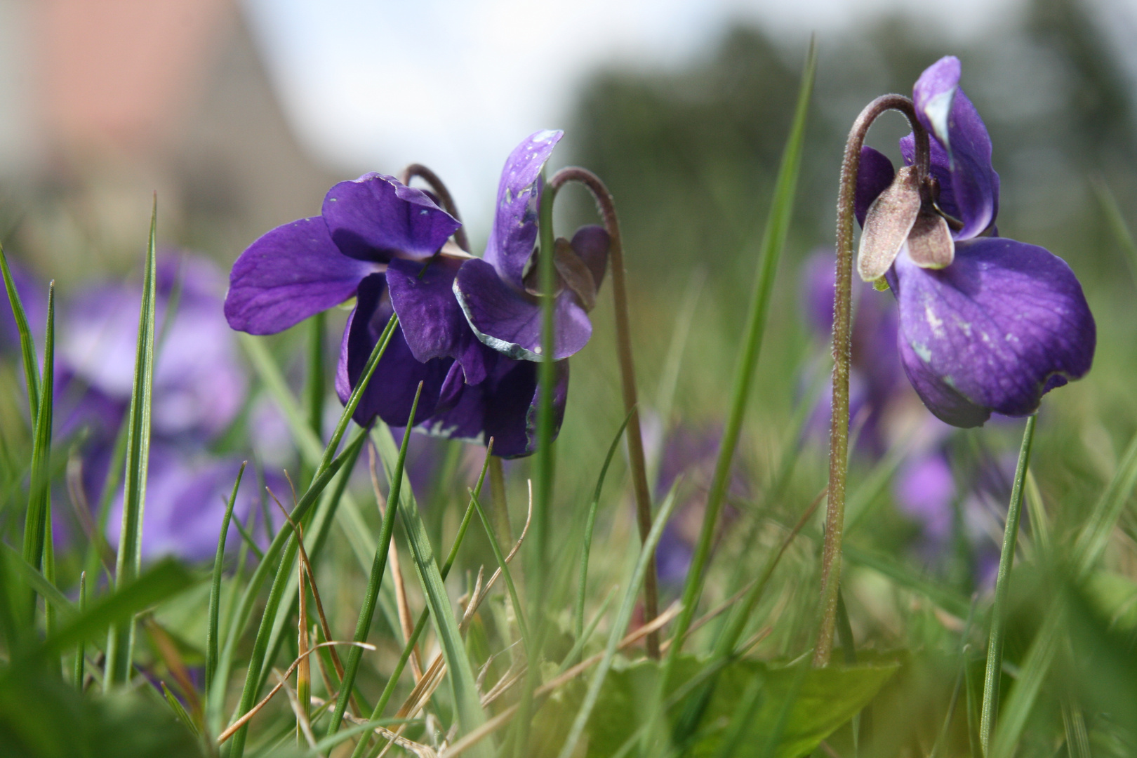 Zarte Veilchen als Frühlingsgruß