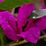 Zartes im Regen....