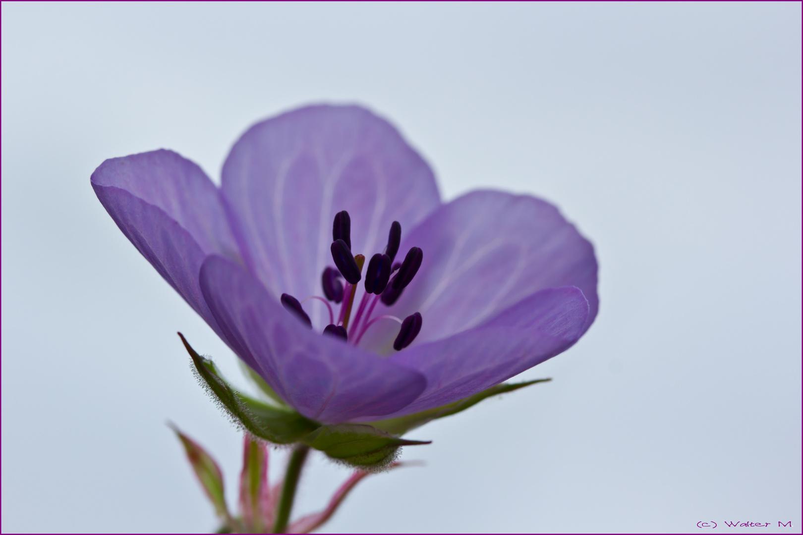 ... zartes lila ...