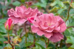 Zartes Pink
