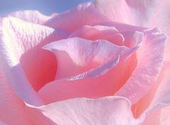 Zartes Rosa