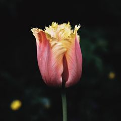 Zartes Rosé