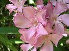 zartrosa Blütenpracht