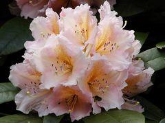 zartrosa Rhododendronblüte mit orange