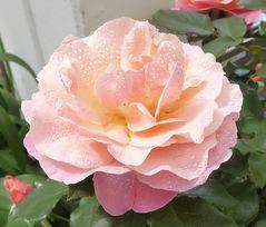 zartrosa Rose mit Tropfen