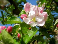 Zauberhafte Apfelblüte mit Besucher