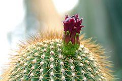 zauberhafte Kakteenblüte