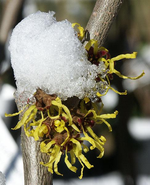 Zaubernuss (Hamamelis japonica)