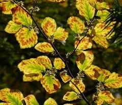 Zaubernuss im Herbstkleid und Blüten