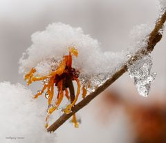 Zaubernuss unter Schnee und Eis