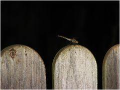 Zaun mit Libelle
