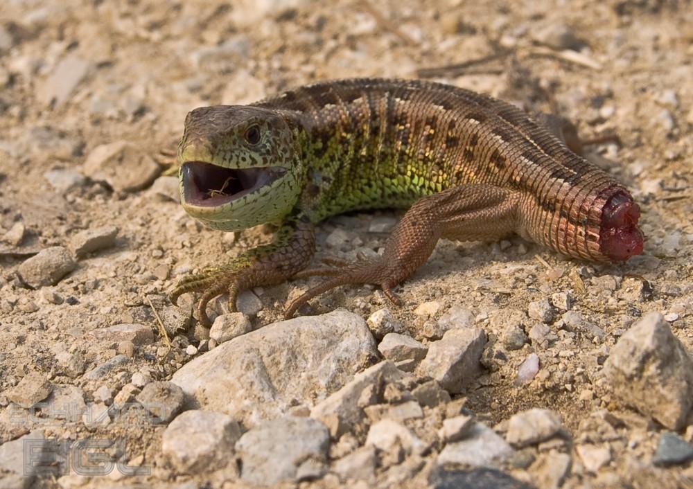 Zauneidechse Foto Bild Tiere Wildlife Amphibien Reptilien