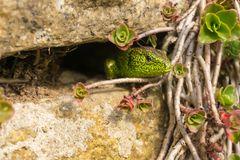 Zauneidechse in Natursteinmauer