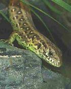 Zauneidechse, Männchen
