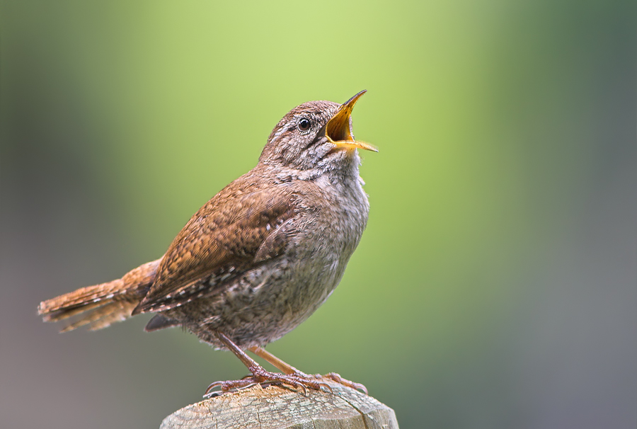 Zaunkonig Foto Bild Tiere Wildlife Wild Lebende Vogel Bilder