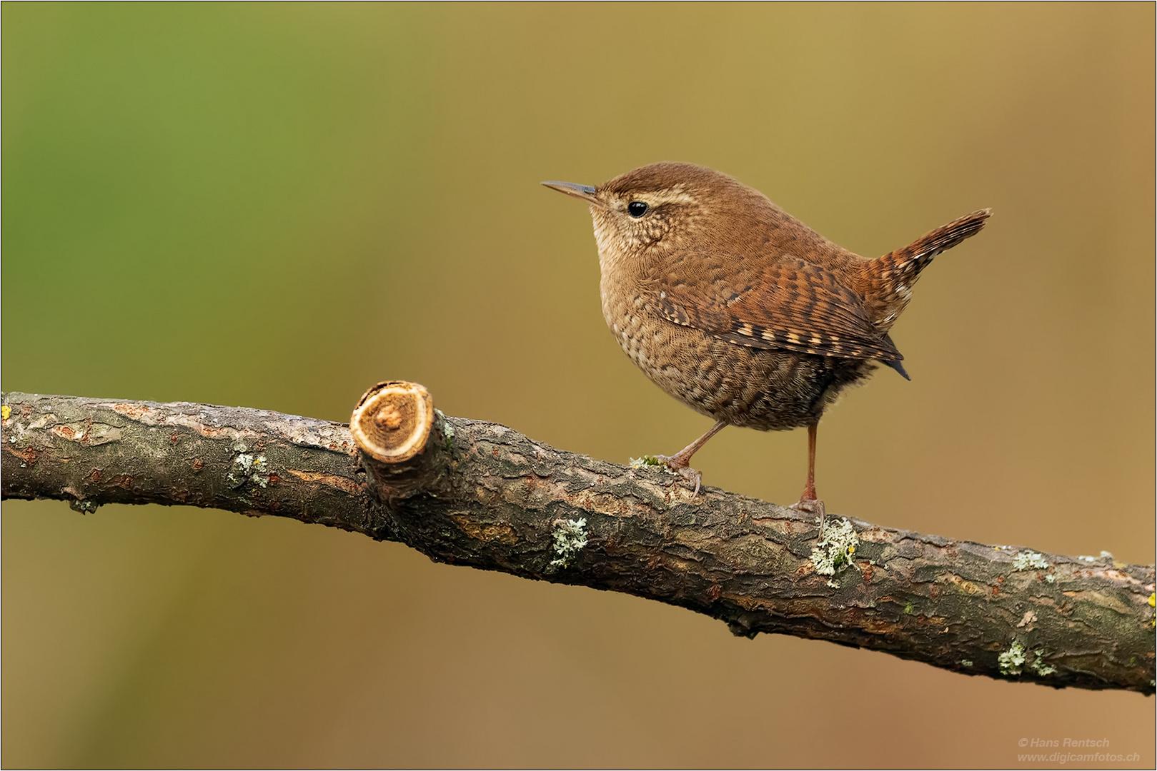 Zaunkonig Foto Bild Natur Bird Tiere Bilder Auf Fotocommunity