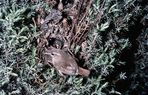 Zaunkönig am Nest aus den 50er Jahren